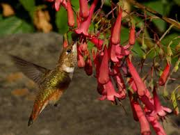 hummingbird flowers hummingbird flowers and flowers gratography
