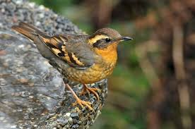 California birds images Invasion 39 of rare varied thrush birds in southern california jpg