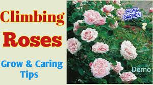 climbing rose लत ग ल ब youtube