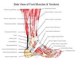 Foot Vascular Anatomy Foot Anatomy Podiatrist San Angelo Tx
