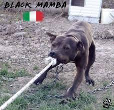 l american pitbull terrier a p b t black mamba adba from italy american pit bull terrier 2017