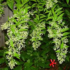 Tropical Fragrant Plants - tropical plants for zone 9 from the pondlady s pad tropical plants