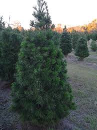 christmas pinetop farm christmas trees and blueberries