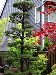 Topiary Cloud Trees - topiary pine tree pruning in sherwood oregon http www