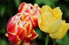 tulips flowers open tulip images pixabay free pictures