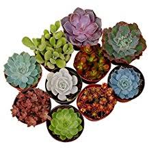 amazon succulents amazon com shop succulents