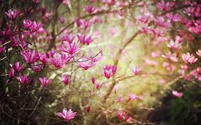 Magnolia Wallpaper by Pleasurable Spring Nature Wallpaper Safety Equipment Us