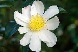 Most Fragrant Plants - see graham rice u0027s top 10 fragrant wall shrubs and climbers rhs