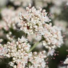 plants native to southern california california native flowering plants and wildflowers ovlc ovlc