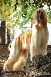 afghan hound grooming styles the beauty i found in amsterdam i just love dogs pinterest