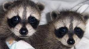 Georgia wildlife images About georgia wildlife haven rescuing an orphaned raccoon the jpeg