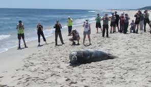 grey seal released at sandy hook nature on the edge of new york city