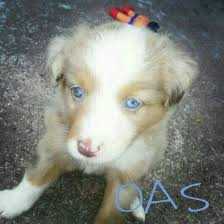4 week old australian shepherd oklahoma australian shepherds home facebook