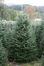live frasier fir trees wreaths and garlands