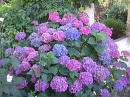 Hydrangea Flowers It U0027s Hydrangea Time Rolling Ridge Nursery