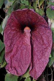 native plants in brazil aristolochia gigantea aristolochiaceae brazilian dutchman u0027s pipe