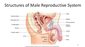 The Anatomy Of The Male Reproductive System Meiosis And The Male Reproductive System