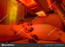 red light therapy tanning bed red light therapy dog stock photo damedeeso 167498780