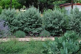 san antonio native plants front garden living fences are filling in u2026 xericstyle