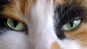 What Can Cause Temporary Blindness Is Blindness Reversible In Cats Pets