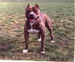 american pit bull terrier brindle sunrise kennels american staffordshire terriers u0026 american pit