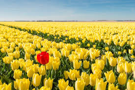 Flower Colour Symbolism - tulip flower meaning flower meaning