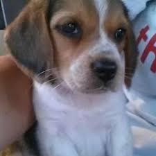 australian shepherd boxer mix australian shepherd boxer mix puppies adopted adopted