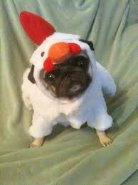 Pug Halloween Costume Cluck Cluck Pug Dog Chicken Halloween Costume Funny Cute
