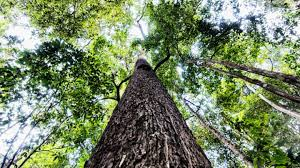 cool trees these are the amazon trees that keep the planet cool climate central