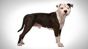american pitbull terrier ireland american staffordshire terrier dog breed selector animal planet