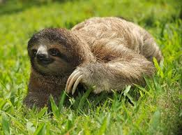 4 toed sloth three toed sloth animal facts and information