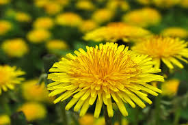 yellow flowers yellow flowers meaning flower meaning