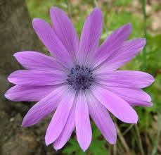 fiori viola viola fotografia fiori
