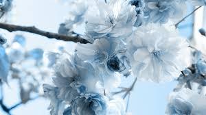 white and blue flowers blue flower wallpaper 47