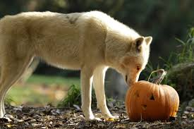 zoo animals pig out on pumpkins for halloween photos videos