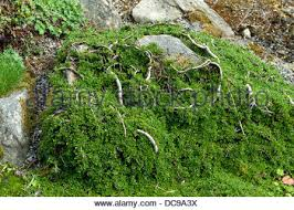 a cotoneaster like plant hugging the contours of small rocks in a