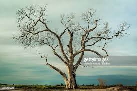 bare tree stock photos and pictures getty images