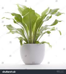 houseplant fern potted plant isolated on stock photo 111453581