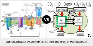 The Light Reactions Of Photosynthesis Use And Produce Difference Between Light And Dark Reactions In Photosynthesis