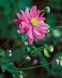 Late Blooming Perennials Fall Blooming Anemones Fine Gardening