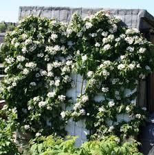 wall white flowers garden climbing plant versatile garden