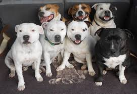 american pitbull terrier akc rockstaff kennels home