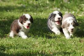bearded collie adoption bearded collie puppies breed information u0026 puppies for sale