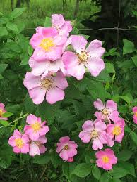 native plants illinois rosa setigera illinois rose prairie moon nursery