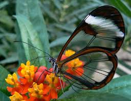 the beautiful glass butterfly nature babamail