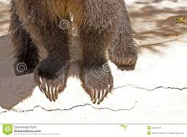 grizzly claws grizzly and claws royalty free stock image image 26614226
