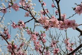 plum blossoms in nanjing startribune