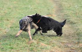 belgian sheepdog groenendael breeder playing belgian shepherd tervueren and groenendael stock photo