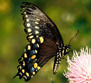meaning of white butterfly with black spots best butterfly 2018