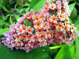 Scented Flowering Shrubs - butterfly